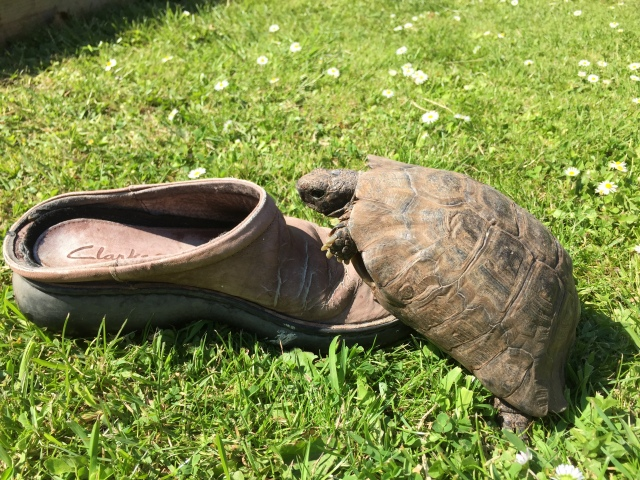 Tortoise on Shoe action